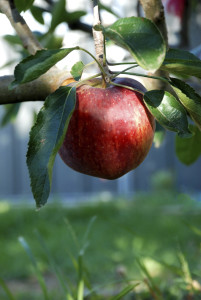 Red Delicious Apple Hanging on a Tree Branch